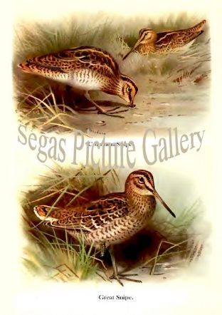 Common Snipe & Great Snipe